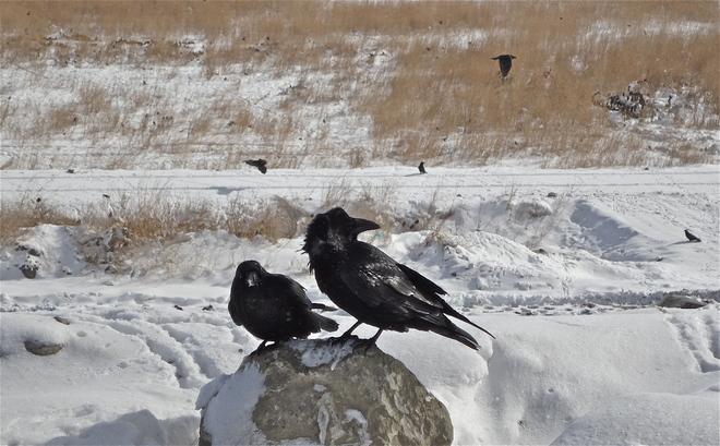 Ravens Calgary, Alberta Canada