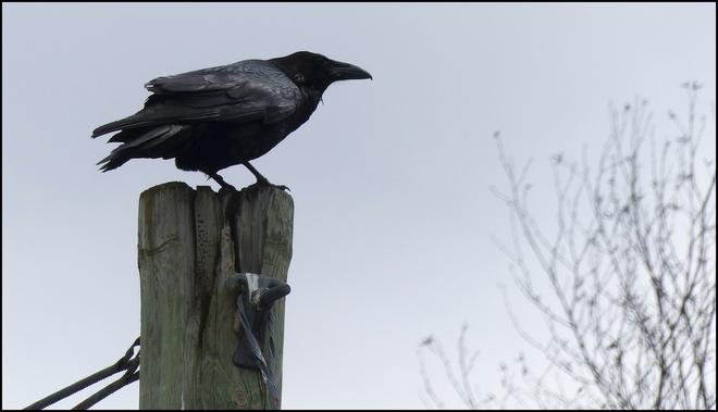 Crow on top of pole. Elliot Lake, Ontario Canada