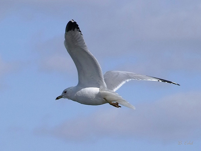 Seagull Port Dover, Ontario Canada