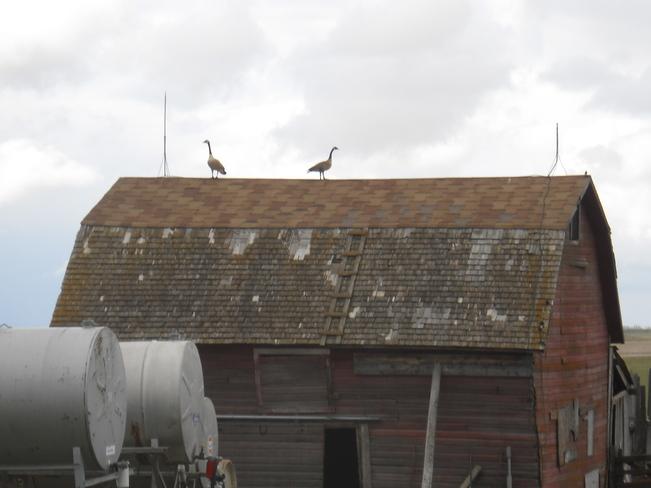 See any dry nesting place? Hawarden, Saskatchewan Canada