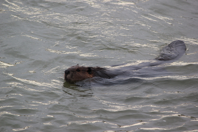 The beaver Saskatoon, Saskatchewan Canada
