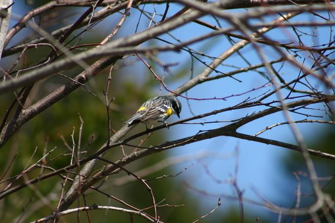 Yellow-rumped warbler Moncton, New Brunswick Canada
