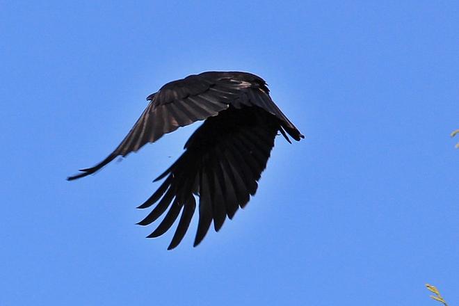 Crow in flight Surrey, British Columbia Canada