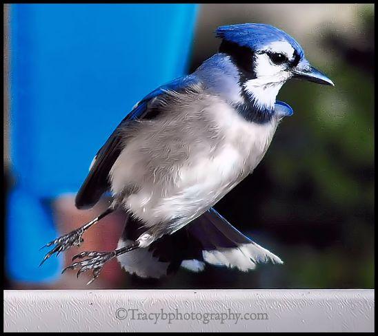 Blue Jay Toronto, Ontario Canada