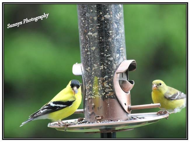 Goldfinch Brampton, Ontario Canada