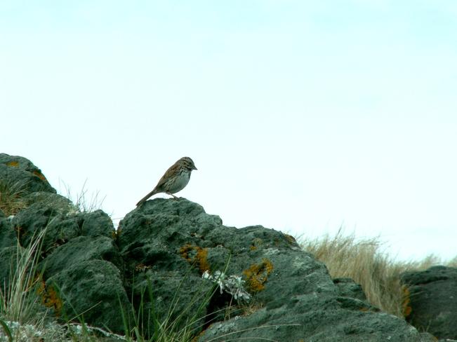 Sparrow Yarmouth, Nova Scotia Canada