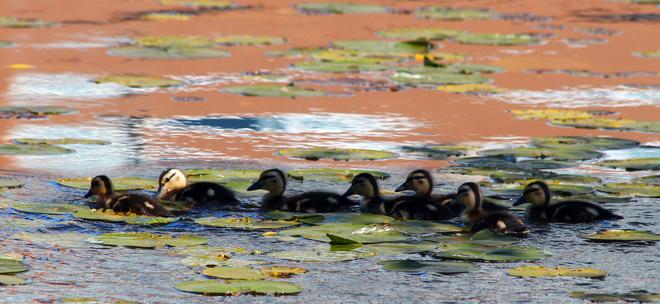 Ducklings Chilliwack, British Columbia Canada