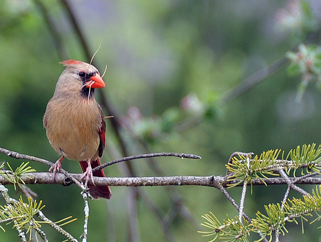 Lady Cardinal London, Ontario Canada