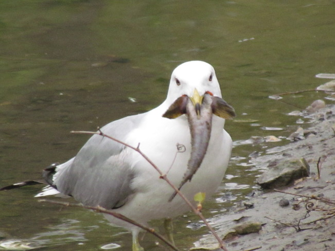 Gull swallowing fish
