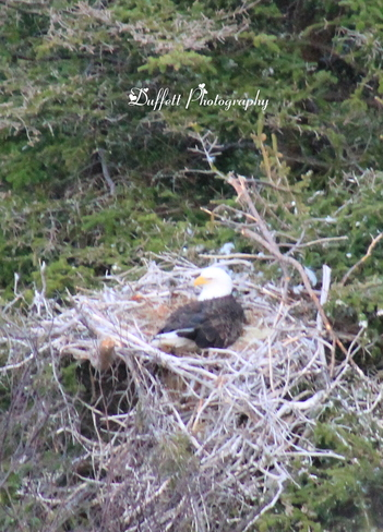 Bald Eagle in nest St. John's, Newfoundland and Labrador Canada