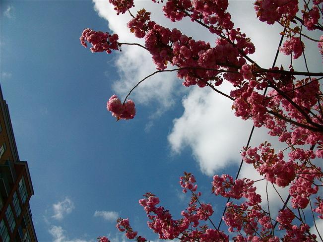 Pink Spring Toronto, Ontario Canada