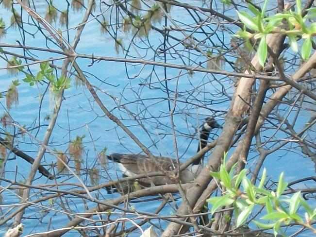Canada goose Ottawa, Ontario Canada