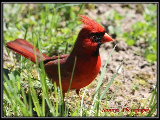 cardinal Brampton, Ontario Canada