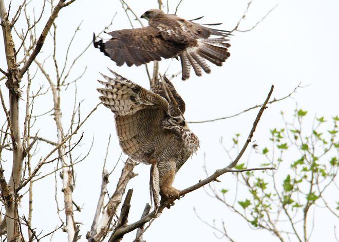hawk attacking owl Brooks, Alberta Canada