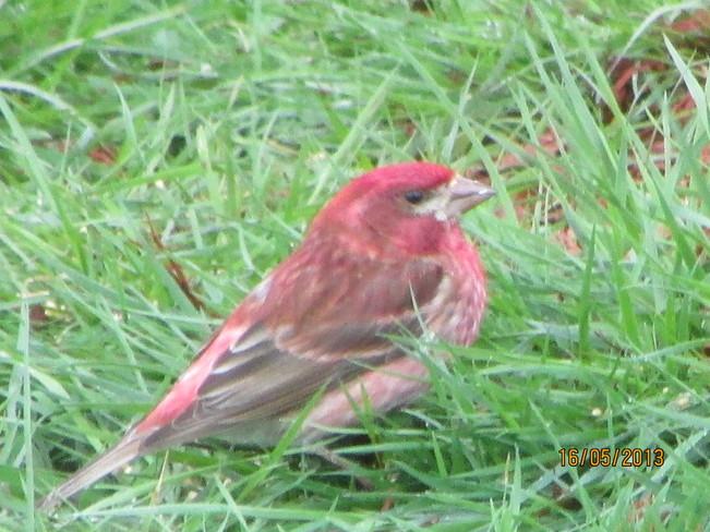 pretty red bird Joggins, Nova Scotia Canada