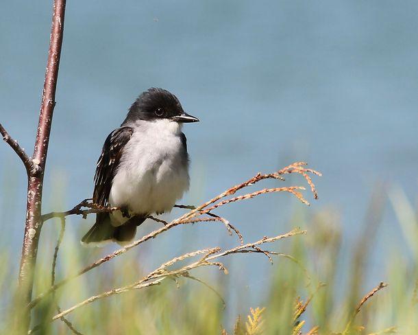Eastern Kingbird Brighton, Ontario Canada