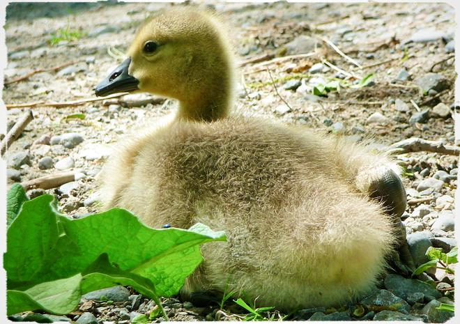 wee geese baby Port Hope, Ontario Canada