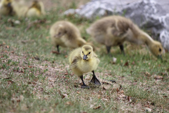 Spring babies at Prince's Island Calgary, Alberta Canada