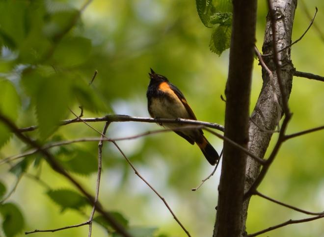 American Redstart Orleans, Ontario Canada