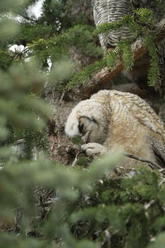 Owlet eating a bug Calgary, Alberta Canada