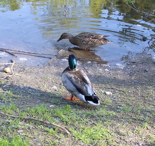 Ducks Fredericton, New Brunswick Canada