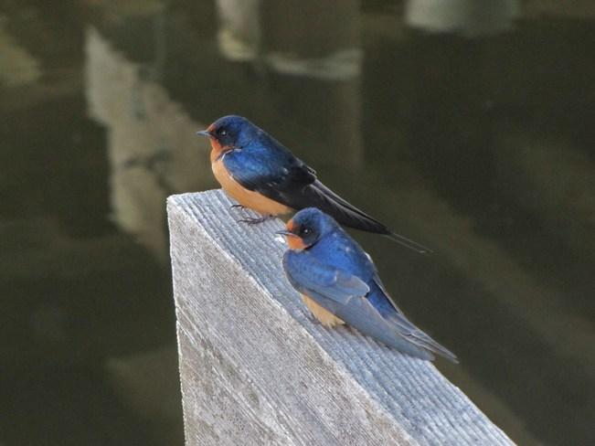 Barn swallows Salmon Arm, British Columbia Canada
