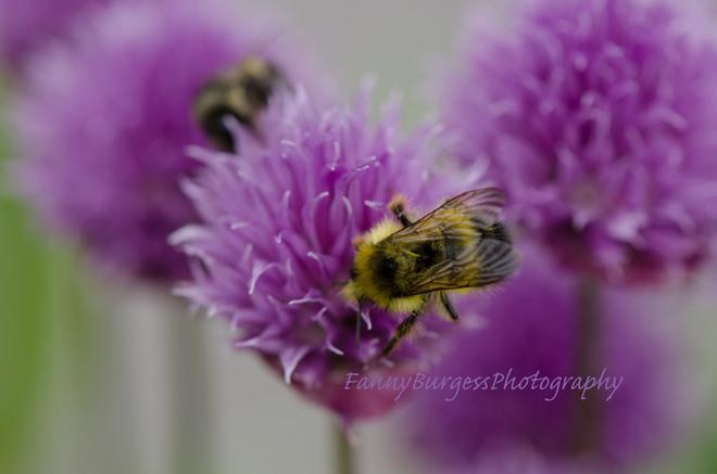 bumblebee Gibsons, British Columbia Canada