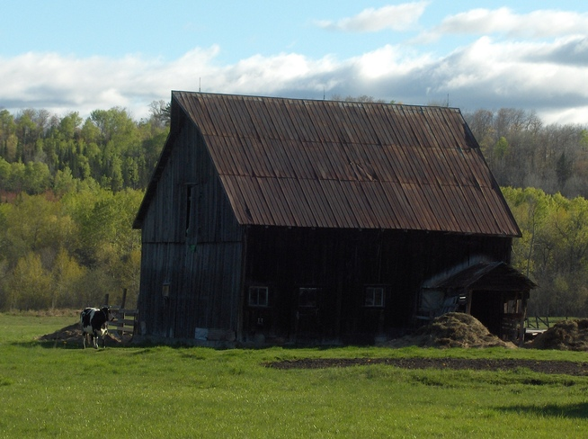 Black & White Cow & Barn Massey, Ontario Canada