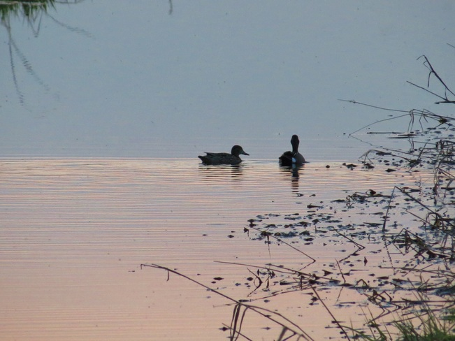 Ducks at sun set Enoch, Alberta Canada
