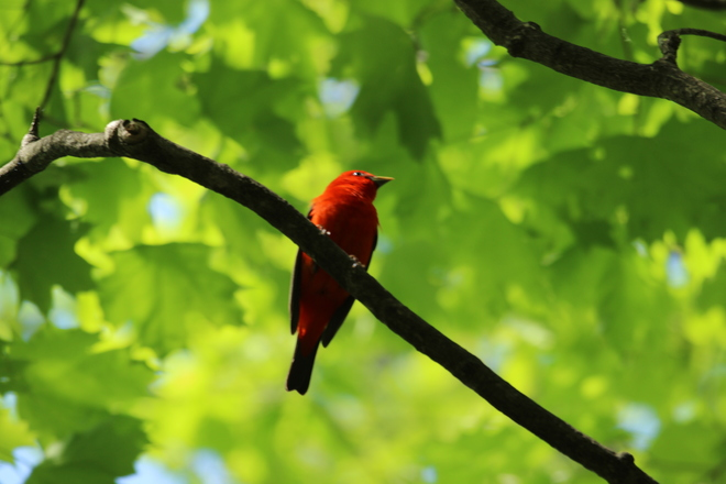 Scarlet Tanager Ottawa, Ontario Canada