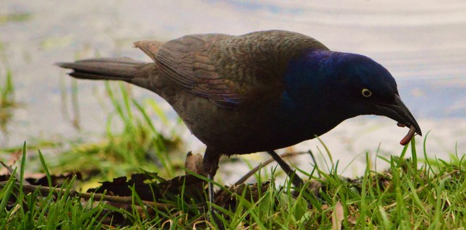 early bird Ottawa, Ontario Canada