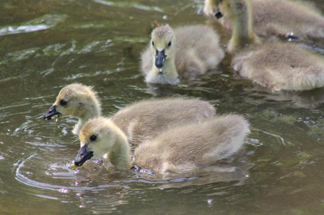 Fluffy geese St. Thomas, Ontario Canada