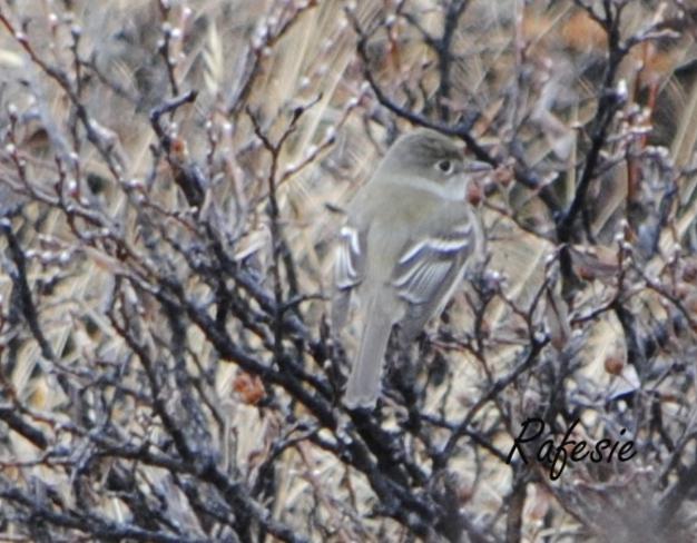 Juvenile Least Flycatcher (Empidonax minimus) Lake Louise, Alberta Canada