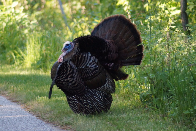 A big tom turkey prancing for a mate. Essex, Ontario Canada