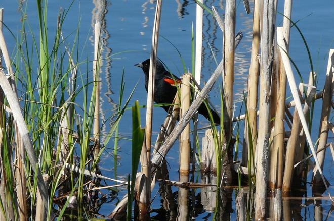 Red Wing Black Bird Sault Ste. Marie, Ontario Canada
