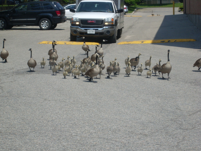 Geese Markham, Ontario Canada