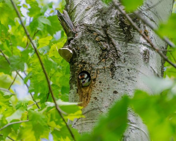 Baby Downy Woodpecker Miramichi, New Brunswick Canada