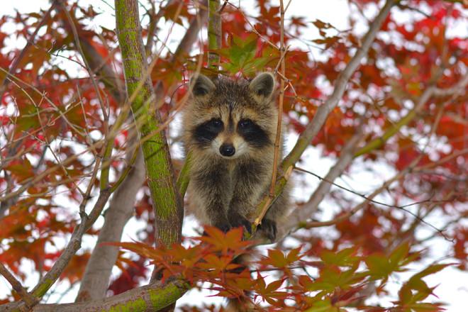 Baby Raccoon Kingston, Ontario Canada