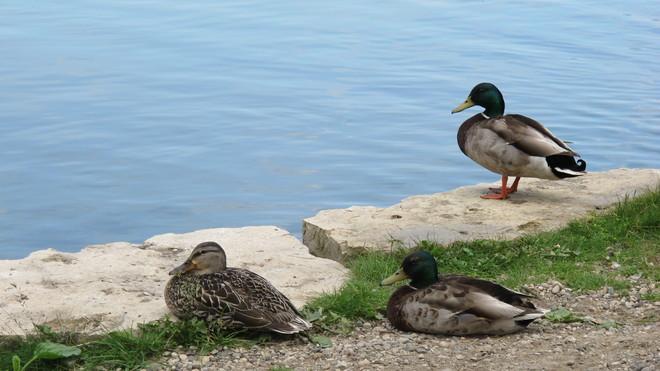 Sleepy, sunny ducks