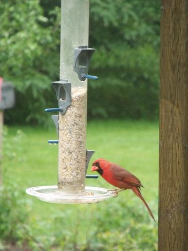 Male Cardinal Berwick, Nova Scotia Canada