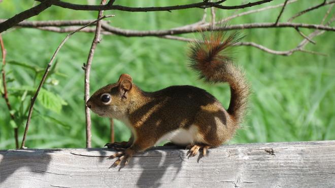 Mapleton Park Squirrel Moncton, New Brunswick Canada