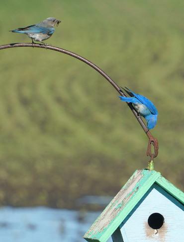 Mountain Bluebird Olds, Alberta Canada