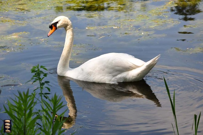 Swan Lake Toronto, Ontario Canada