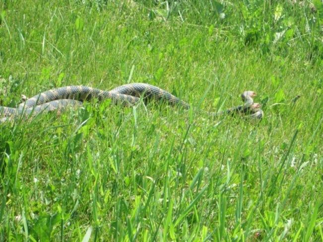 Large Fox Snakes mating Chatham, Ontario Canada