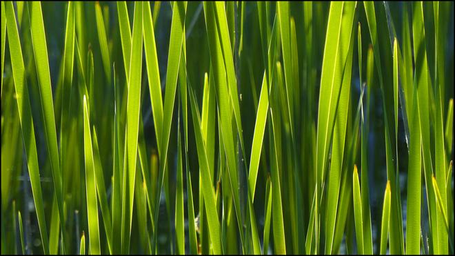 Sherriff Creek, wall of tall grass. Elliot Lake, Ontario Canada