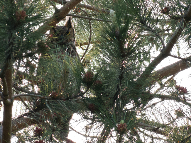 Great Horned Owl Lemoines Point Kingston, Ontario Canada