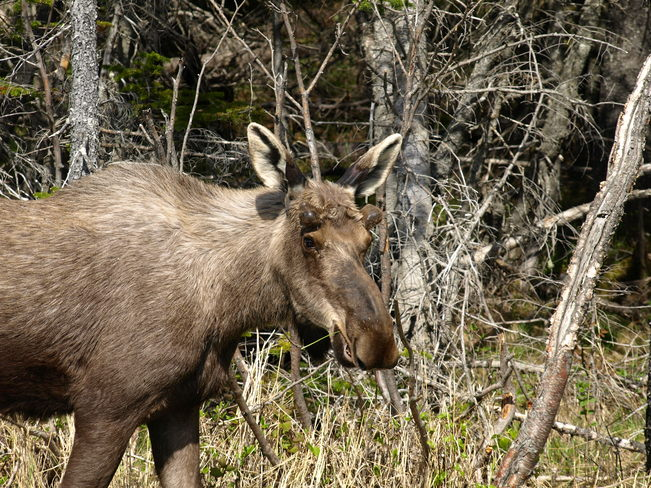 Moose St. Lunaire-Griquet, Newfoundland and Labrador Canada