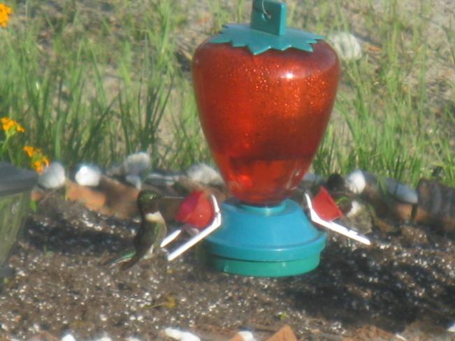 2 hummingbirds Chapleau, Ontario Canada