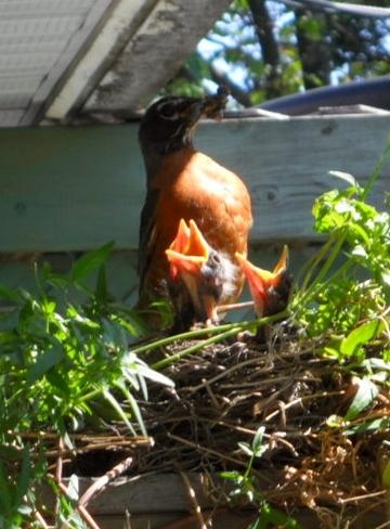 Hungry Baby Birds! Aylmer, Quebec Canada