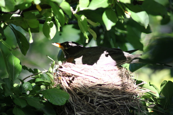 Robin in the nest Waterdown, Ontario Canada